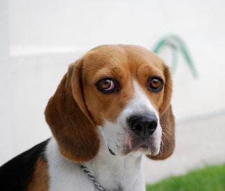sad-beagle